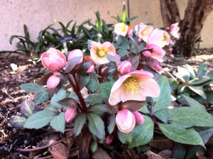 hellebore_pink_frost